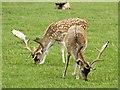 SK5310 : Fallow deer grazing in Bradgate Park by Graham Hogg