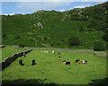 NY2614 : Cows near Rosthwaite by Hugh Venables