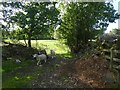SX7981 : Sheep and old hedgebanks, Brookfield, Lustleigh by David Smith