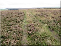 NT7153 : Track in heather on Lamb Rig near Kettleshiel in the Scottish Borders by ian shiell
