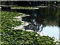 SK5453 : Newstead Abbey Gardens – Garden Lake by Alan Murray-Rust