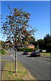 ST3090 : Red berries, green leaves, blue sky, Rowan Way, Malpas, Newport by Jaggery