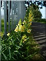 NS3979 : Common toadflax by Lairich Rig