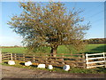 NZ3018 : Old apple tree at Skerningham Manor by john durkin