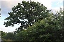 TL2459 : Tree by Abbotsley Road, Croxton by David Howard