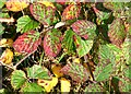 TM2198 : Violet Bramble Rust  (Phragmidium violaceum) by Evelyn Simak