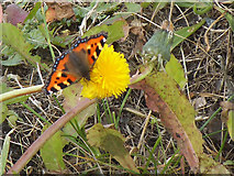 SD9657 : Small tortoiseshell butterfly on a dandelion near Rylstone by Stephen Craven