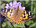 NJ3458 : Painted Lady Butterfly (Cynthia cardui) by Anne Burgess