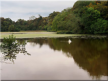 NS2209 : The Swan Pond, Culzean Castle Country Park by David Dixon