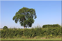 SP9064 : Tree by the A509 north of Wollaston by David Howard
