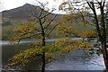 NY1816 : Sycamore trees, Buttermere by Ian Taylor