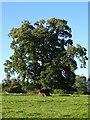 SO4565 : Spanish sweet chestnut by Philip Halling