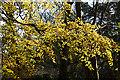NJ5630 : Beech Foliage by Anne Burgess