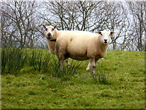 H4963 : Two sheep by Kenneth  Allen
