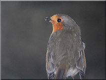 SP6989 : Robin at Foxton by Stephen McKay