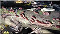 TG2105 : Jew's ear fungi (Auricularia auricula-judae) by Evelyn Simak