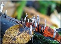 TG2105 : Xylaria hypoxylon (Candlesnuff fungus) by Evelyn Simak