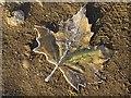 SP5105 : A frozen fallen leaf by Philip Halling