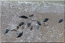 SH7783 : Seventeen seals on a beach by Mat Fascione