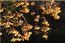NJ1841 : Rowan Berries by Anne Burgess