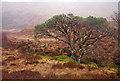 NH1116 : Scots pine, by the Uisge na Cràlaig by Craig Wallace