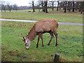 TQ1973 : A red deer on Sawyers Hill, Richmond Park by John S Turner