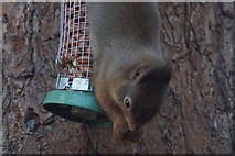 NH9818 : Red Squirrel (Sciurus vulgaris), Loch Garten  by Mike Pennington
