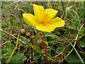 SU4827 : Helianthemum nummularium (Common Rock-Rose) at St Catherine's Hill, Winchester by Phil Champion