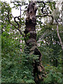 SK6267 : An ancient oak tree in Sherwood Forest by Phil Champion