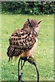 NC8500 : An  Eagle Owl on display at Dunrobin Castle by Peter Jeffery