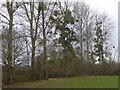 TQ6251 : Mistletoe along a field edge by Marathon