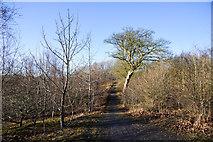 NZ3536 : Path in developing woodland by Trevor Littlewood