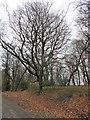 NZ1649 : Beech tree in Tower Wood by Robert Graham
