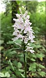 TQ2115 : Common Spotted Orchid - Dactylorhiza fuchsii - Henfield, Sussex by Ian Cunliffe