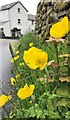 NY2513 : Welsh Poppy - Meconopsis cambrica - Borrowdale, Cumbria by Ian Cunliffe
