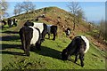 SO7642 : Belted Galloway cattle by Philip Halling
