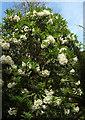 SX9150 : Rhododendron, Coleton Fishacre by Derek Harper