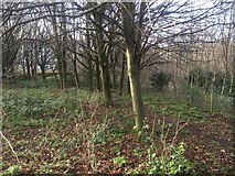 NT2774 : Woodland, Lochend Park by Richard Webb