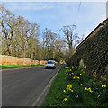 TL4551 : Little Shelford: February daffodils by John Sutton