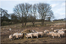 NZ3231 : Sheep at feeder by Trevor Littlewood