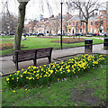 SE2933 : Daffodils in Park Square by Stephen Craven