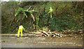 SX9165 : Fallen tree removal, Hele Road, Torquay by Derek Harper