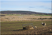 NJ1660 : Sheep at Easter Hillside by Anne Burgess
