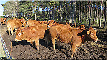 NJ1364 : Limousin Cattle by Anne Burgess