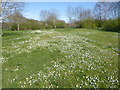 TQ4676 : A show of daisies on East Wickham Open Space by Marathon