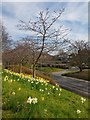 SE6250 : Daffodils above University Road by DS Pugh