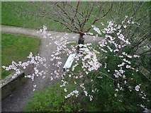 SO5074 : Cherry Blossom Tree at Millennium Green (Ludlow) by Fabian Musto
