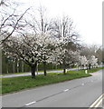 ST3091 : Early Spring blossom, Malpas Road, Newport by Jaggery
