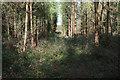 TL7790 : Conifer plantation, Thetford Forest by Hugh Venables