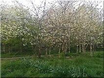 TQ2087 : Spring blossom in Woodfield Park, Kingsbury by David Howard